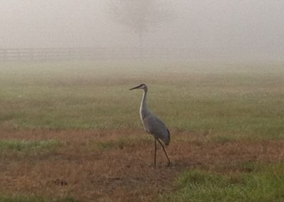 Sandhill Cranes in the morning mist